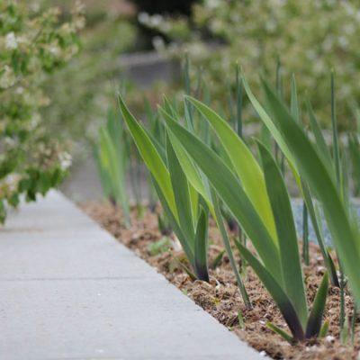 Iris Garten